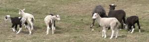 Frolicking Finn Lambs